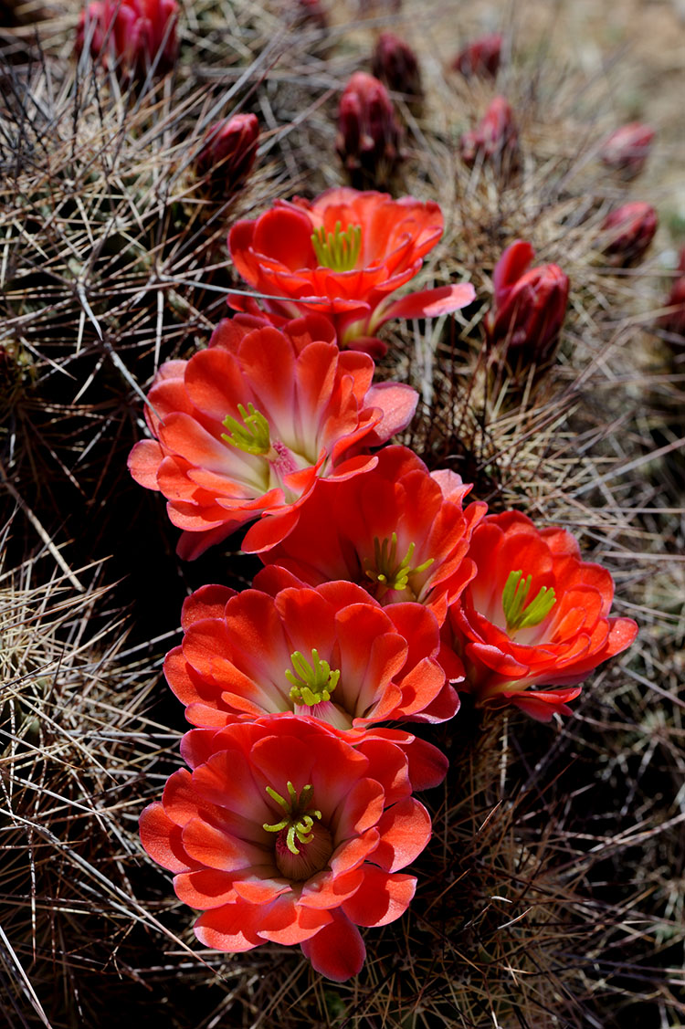 Echinocereus coccineus subsp. rosei, USA, New Mexico, Dona Ana Co.