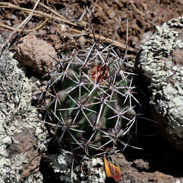 Echinocereus fendleri, USA, New Mexico, Grant Co.