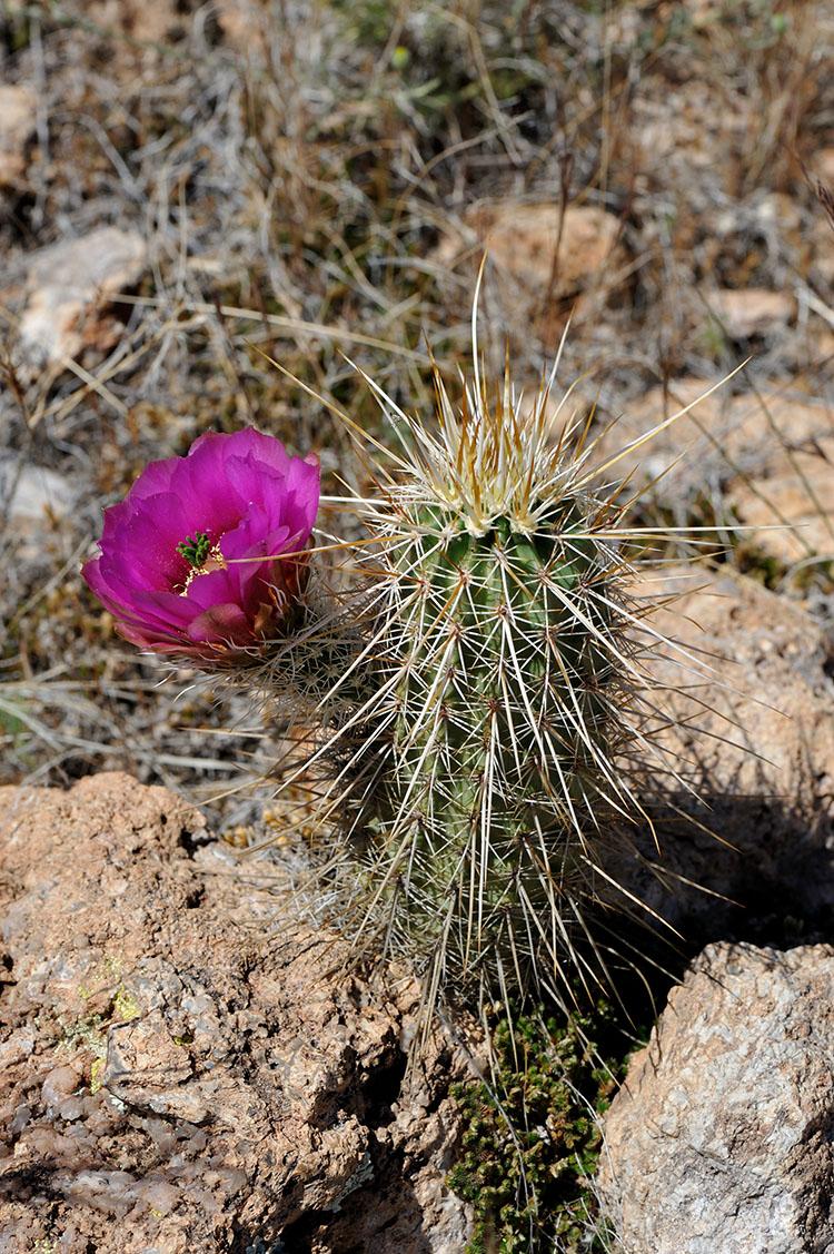 Echinocereus engelmannii subsp. fasciculatus, USA, Arizona, Pinal Co.