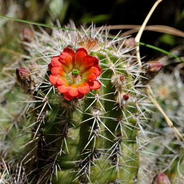 Echinocereus yavapaiensis, USA, Arizona, Yavapai Co.