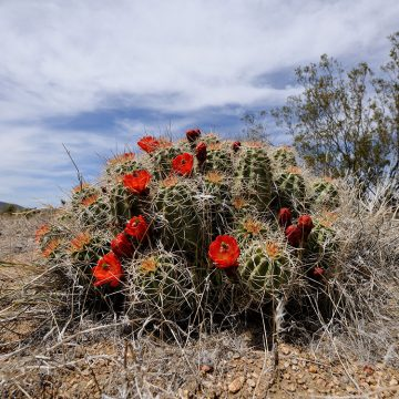 Echinocereus mojavensis, USA, California, Riverside Co.