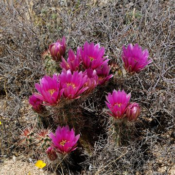 Echinocereus engelmannii, USA, California, Riverside Co.