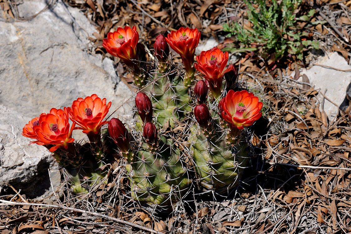Echinocereus coccineus subsp. paucispinus, USA, Texas, Sutton Co.
