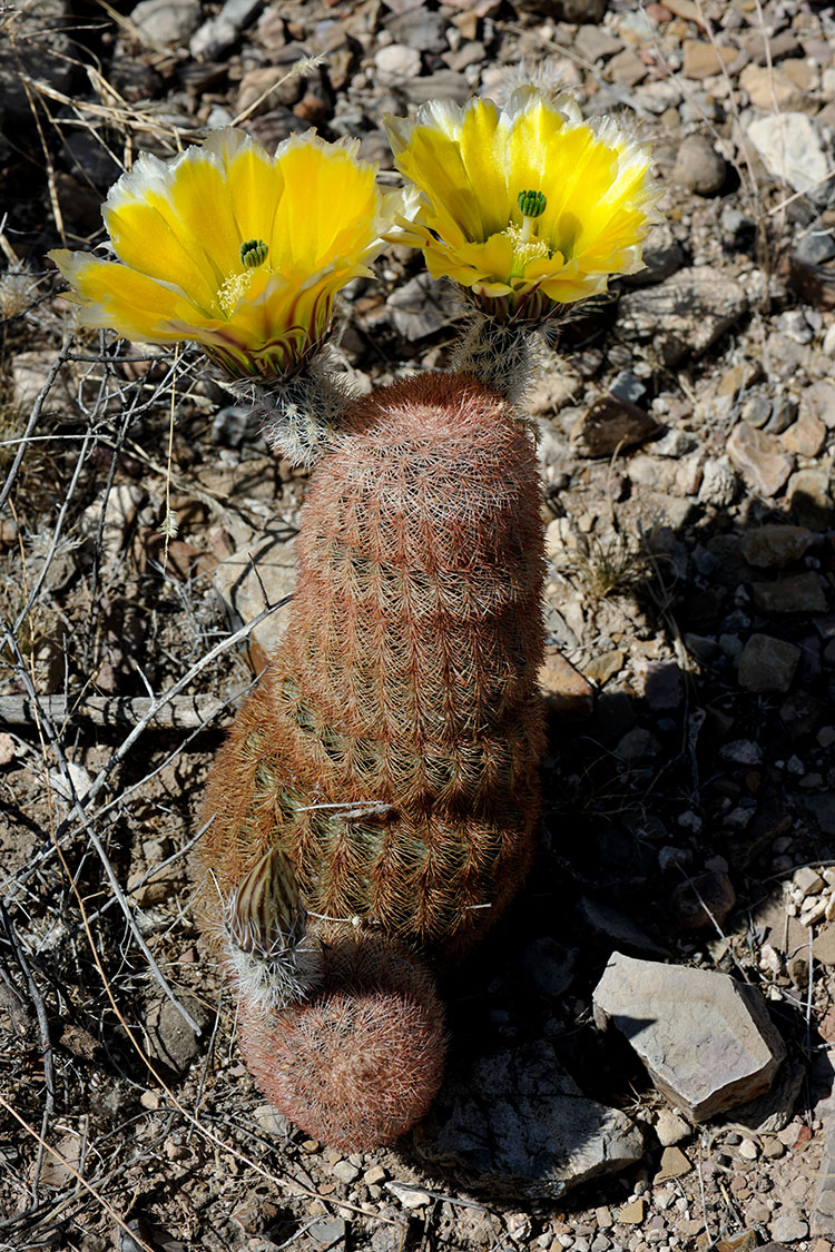 Echinocereus dasyacanthus, USA, Texas, Presidio Co.