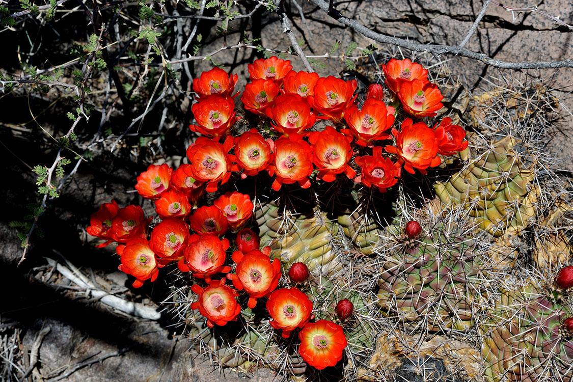 Echinocereus coccineus, USA, Texas, Presidio Co.