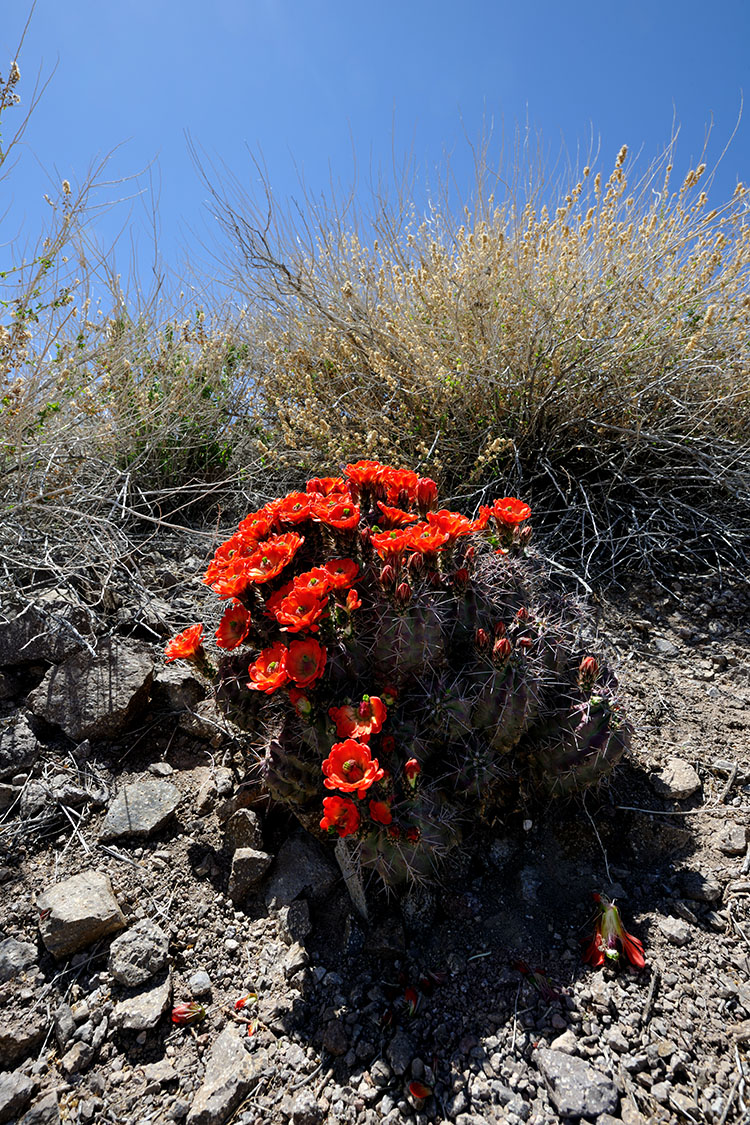 Echinocereus coccineus, USA, Texas, Presidio Co.