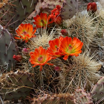 Echinocereus coccineus subsp. rosei, USA, New Mexico, Otero Co.