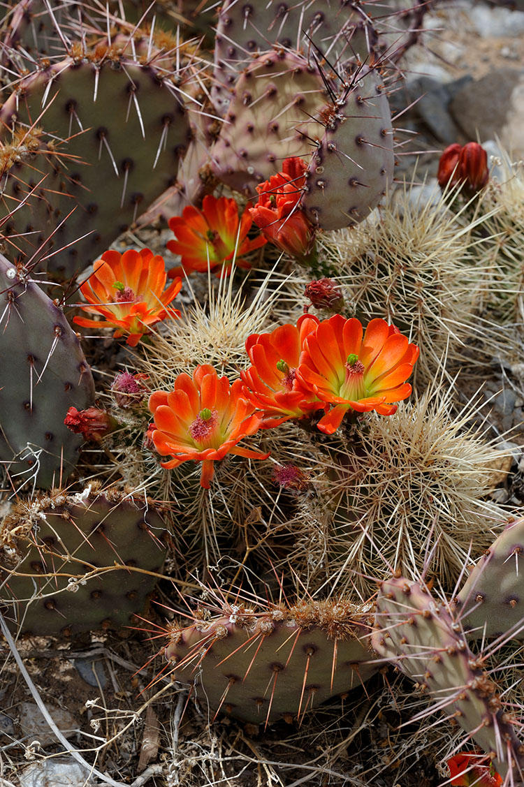 Echinocereus coccineus subsp. rosei, USA, New Mexico, Otero Co.