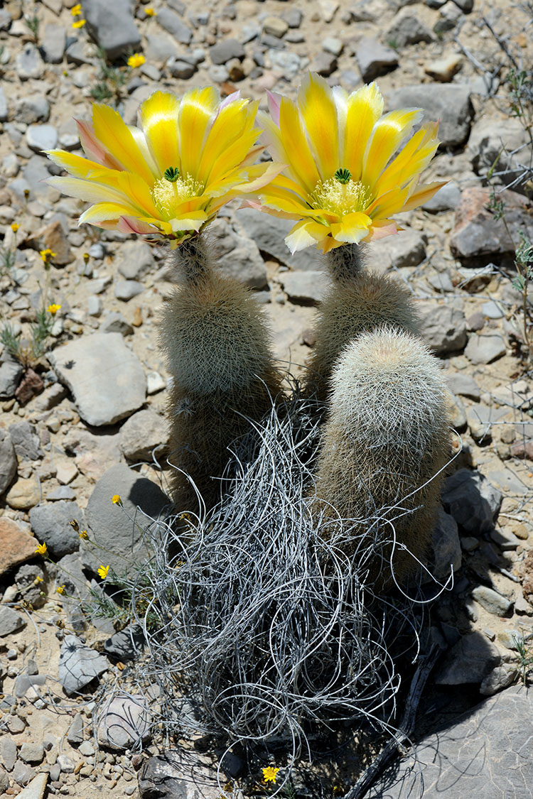 Echinocereus dasyacanthus, USA, Texas, Brewster Co.