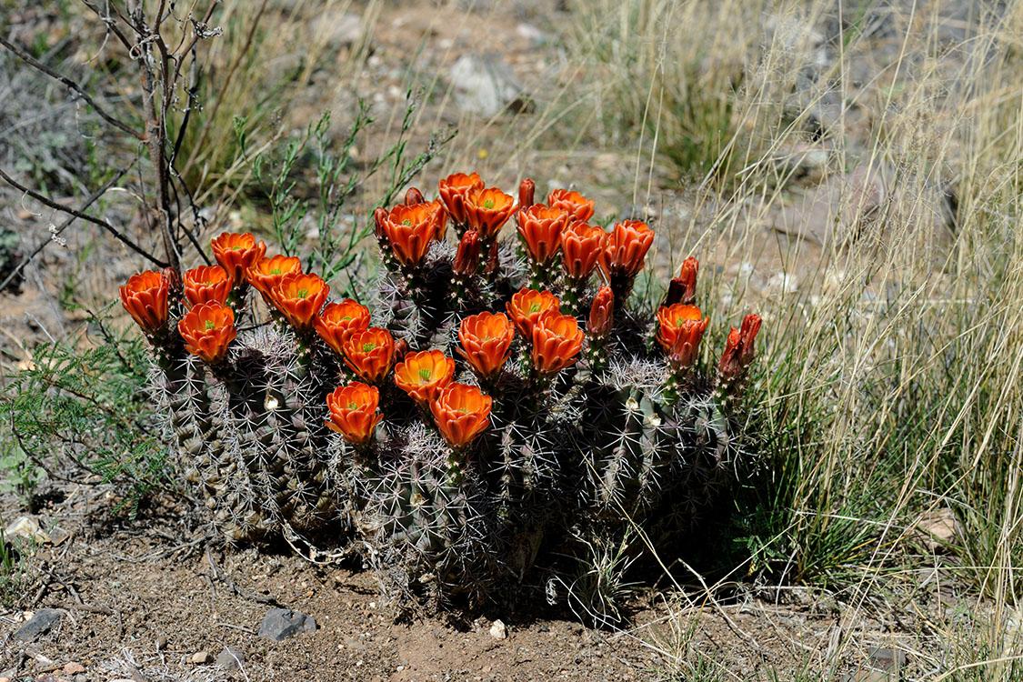Echinocereus coccineus subsp. gurneyi, USA, Texas, Brewster Co.