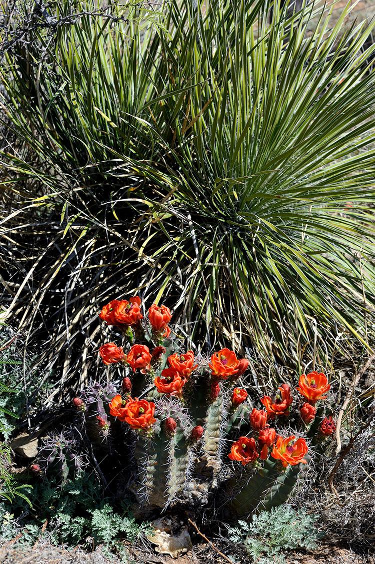 Echinocereus coccineus subsp. gurneyi, USA, Texas, Pecos Co.