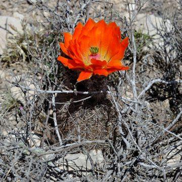 Echinocereus xlloydii, USA, Texas, Pecos Co.