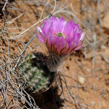 Echinocereus reichenbachii subsp. perbellus, USA, Texas, Runnels Co.