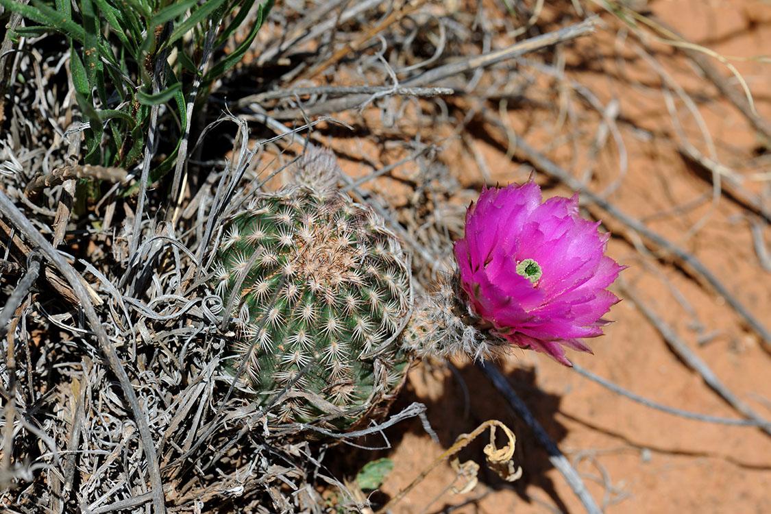 Echinocereus reichenbachii subsp. perbellus, USA, Texas, Runnel Co.