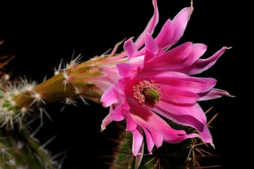 Echinocereus scheeri, Mexico, Chihuahua, Moris