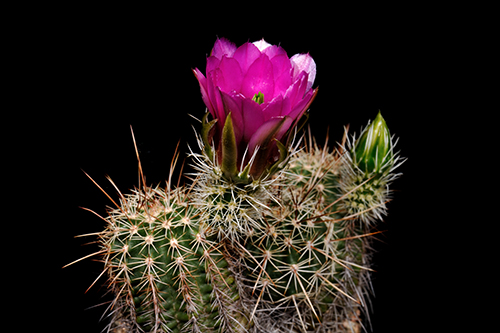Echinocereus engelmannii fa. decumbens, USA, Arizona, Flagstaff - Page