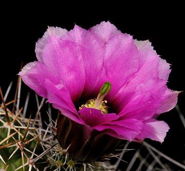 Echinocereus fendleri subsp. rectispinus, USA, Arizona, Sonoita