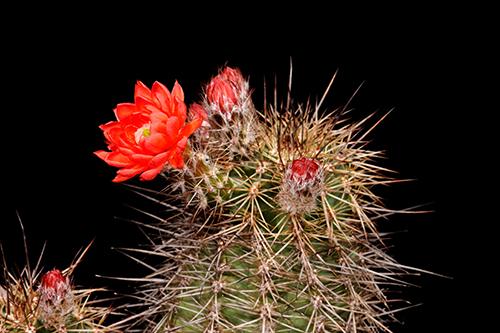 Echinocereus polyacanthus, Mexico, Chihuahua, Santa Clara Canyon