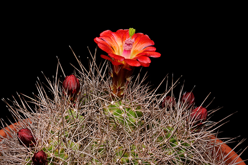 Echinocereus mojavensis, USA, Arizona, Toroweap Point