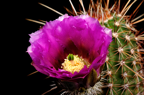 Echinocereus bonkerae, USA, Arizona, Globe