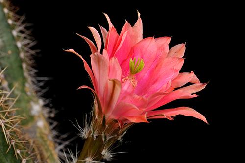 Echinocereus scheeri, Mexico, Chihuahua, Humira