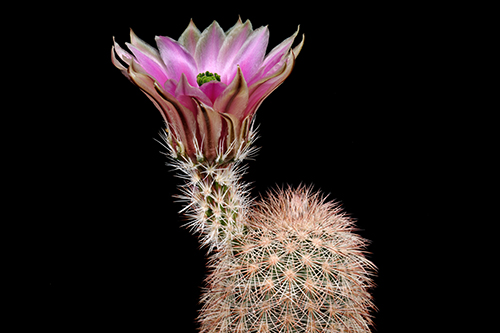 Echinocereus dasyacanthus, USA, Texas, Pecos Co., SB0732