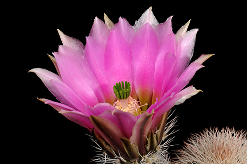 Echinocereus dasyacanthus subsp. crockettianus, USA, Texas, Crockett Co., Sheffield