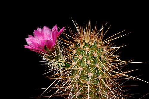 Echinocereus engelmannii, Mexico, Baja California, Jaraguay
