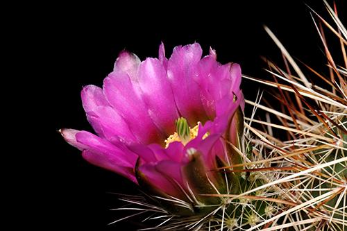 Echinocereus engelmannii, Mexico, Baja California, Meling Ranch - Observatorio