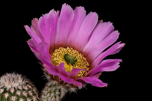Echinocereus armatus, Mexico, Nuevo Leon, Huasteca Canyon