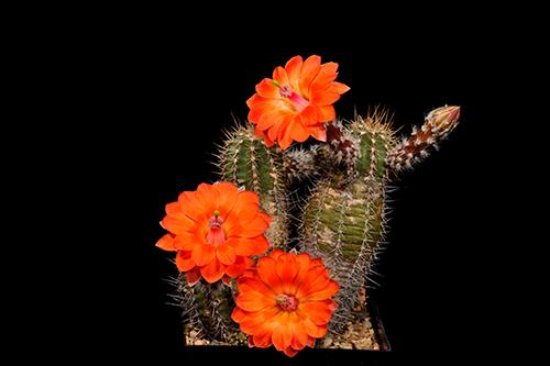 Echinocereus salm-dyckianus, Mexico, Sonora, Yecora - San Nicolas, Km 277