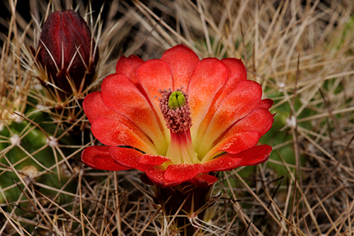 Echinocereus mojavensis, USA, Arizona, Desert View