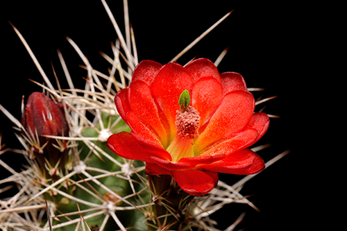 Echinocereus mojavensis, USA, Utah, Cisco