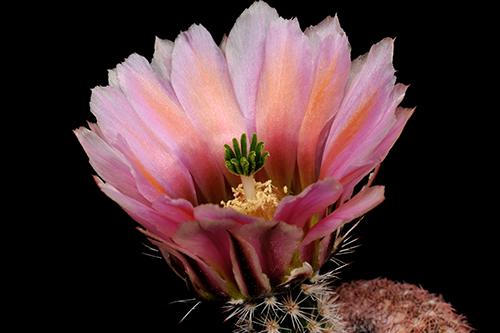Echinocereus pectinatus, Mexico, Chihuahua, Sierra San Ignacio