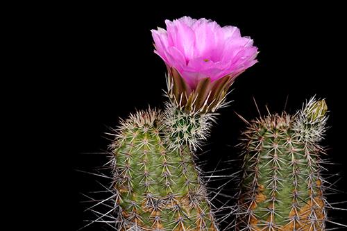 Echinocereus engelmannii subsp. fasciculatus, USA, Arizona, Tucson