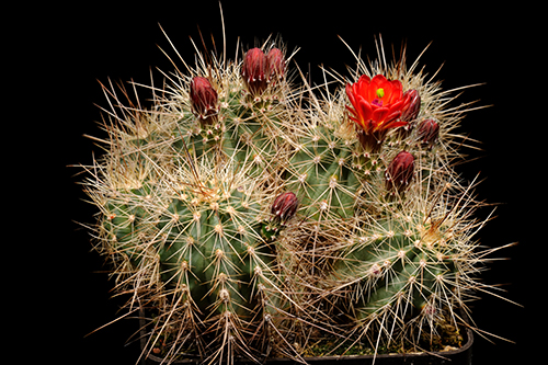 Echinocereus coccineus, USA, New Mexico, Taos