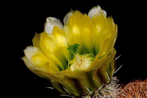 Echinocereus dasyacanthus, USA, CR117