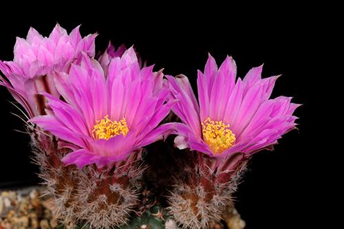 Echinocereus pulchellus, Mexico