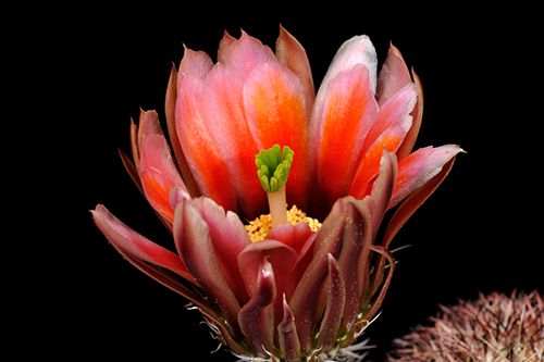 Echinocereus dasyacanthus, USA, Texas, El Paso