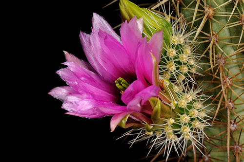 Echinocereus ledingii, USA, Arizona