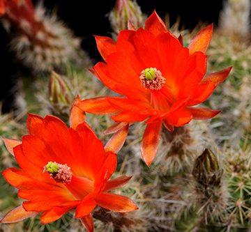 Echinocereus salm-dyckianus, Mexico, Sonora, Yecora - Maycoba