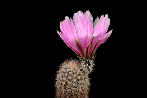 Echinocereus dasyacanthus, USA, Texas, Ft. Stockton