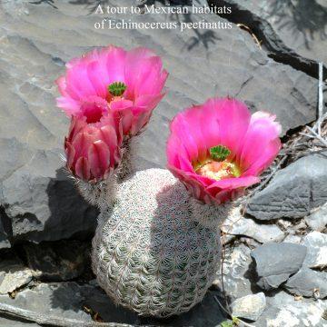 Eine Reise zu mexikanischen Standorten von Echinocereus pectinatus
