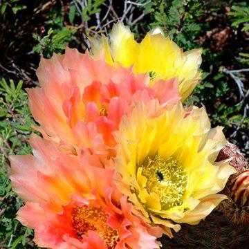 Echinocereus in Habitat - Echinocereus pectinatus subsp. rutowiorum, Mexico, Chihuahua, Sierra El Tambor