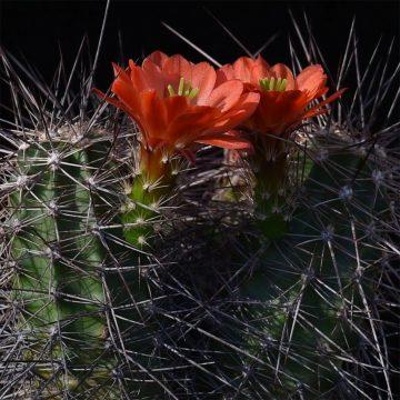 Echinocereus pacificus subsp. mombergerianus, Mexico, Baja California, Sierra San Pedro Martir (Video)