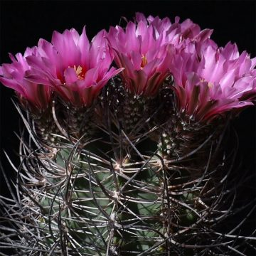 Echinocereus lindsayi, Mexico, Baja California (Video)