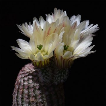 Echinocereus pectinatus, Mexico, Detras (Video)