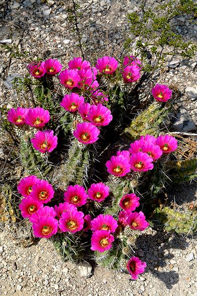 Echinocereus in Habitat - Echinocereus enneacanthus, Mexico, Coahuila, Abasolo