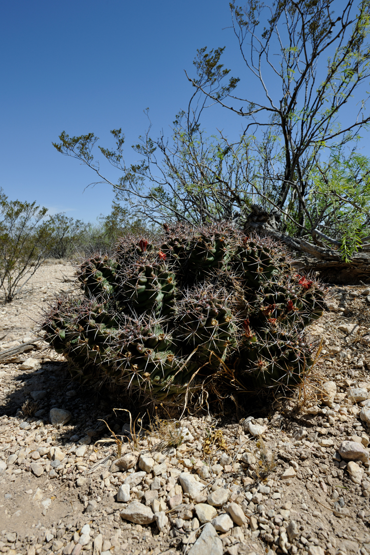 Echinocereus coccineus subsp. caucispinus, USA, Texas, Pecos Co.