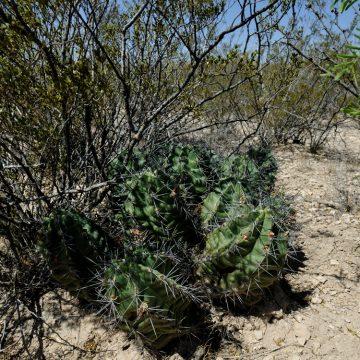 Echinocereus coccineus subsp. paucispinus, USA, Texas, Pecos Co.